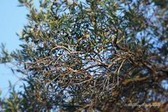Pouillot siffleur - Wood Warbler (murielvdb) Tags: phylloscopussibilatrix pouillotsiffleur woodwarbler oiseaux birds vogel aves kavos corfou greece