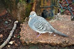 Zebra dove (TabbyRex) Tags: hawaii bird barred dove zebra
