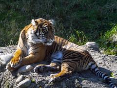 It's GREAT! (Ke7dbx) Tags: zoo tacoma fall washingtonstate wa animal animals tiger sumatrantiger cat bigcat meow kitty cats