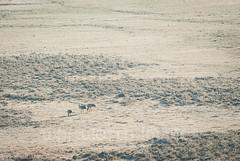 Black-necked cranes (whitworth images) Tags: phobjikha gangte asia endangered rare himalaya blackneckedcranes himalayas gangtey three bhutan early animal threatened morning frosty grusnigricollis wintering cold travel tabiting bird fields phobjikhavalley marsh distant conservation frost valley wangduephodrangdzongkhag