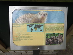 best_025 (OurTravelPics.com) Tags: best explanation banded mongoose bestzoo