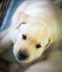 Canine Infancy (Jack Landau) Tags: yellow labrador retriever puppy lab pup dog pet canine