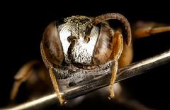 Epeolus howardi, face, Caroline Co., MD_2016-09-20-12.02 (Sam Droege) Tags: zerenestacker stackshot geologicalsurvey unitedstatesgeologicalsurvey departmentoftheinterior droege biml beeinventoryandmonitoringlaboratory bug bugs canon closeup macro insect patuxentwildliferesearchcenter pwrc usgs dofstacking stacking canonmpe65 taxonomy:binomial=epeolushowardi bee bees apoidea hymenoptera pollinator nativebee stevewestre anderscroft carolinecounty maryland sand rare parasite