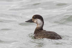 Female Common Scoter (ToriAndrewsPhotography) Tags: female common scoter mersea island colchester essex lady grace boat photography andrews tori