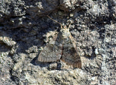 7 DSC_0023 (Pep Company - Barral) Tags: insectes animals natura papallona papallones mariposas borboletas butterfly papillon lepidopteres josep companyo barralo