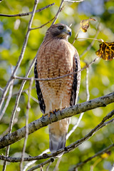 Red Shouldered Hawk (tresed47) Tags: 2016 201610oct 20161011extonparkbirds birds canon7d chestercounty content extonpark folder hawk pennsylvania peterscamera petersphotos places redshoulderedhawks takenby us