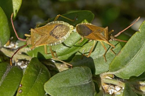 Gonocerus acuteangulatus (Goeze 1778) ♂♀-001