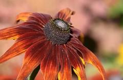 Rudbeckia (careth@2012) Tags: nature petals rudbeckia