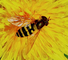 Syrphus on a Dandelion (jdathebowler Thanks for 900,000+ views.) Tags: autofocus syrphusonadandelion diptera hoverfly nature macro coth ngc sunrays5 fantasticnature natureoftheworldunlimited