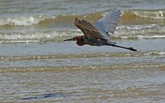 Reddish Egret (1krispy1) Tags: egrets reddishegret texasbirds