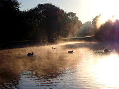 Swans in the fog (PawelPach) Tags: nature swan lake water sun fog foggy sunrise sunrays rays reflection colors colorful