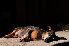 Nap Time in the Sun Spot (sullivan1985) Tags: dachshund borys pup puppy sun morning sleep nap animal dog dapple