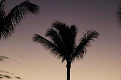 palm tree silhouette (joybidge (0n vacation)) Tags: trishcanada naturepatternscanada mauihawaii palmtrees