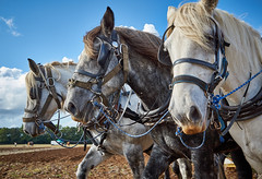 DSC05741 (Andy Oldster) Tags: eashing godalming farm plough ploughing heavyhorses shire sony alpha a65 slt