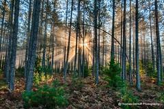 Sunbursting through the trees (Thomas DeHoff) Tags: sunburst trees upper penisula michigan fog hdr sony a700