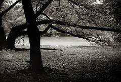 桜の木陰 (O9k) Tags: bw tree film japan analog 35mm pond cherryblossom sakura analogue cherrytree hanabi selfdeveloped cherryflowers canoneos3000v homedeveloping kodakhc110 shinjukugardens rolleiretro80s ramron282875