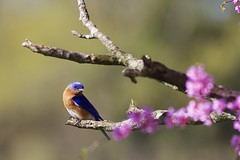 Bluebird on redbud tree (Henry McLin) Tags: pennsylvania bluebird hanover codorusstatepark