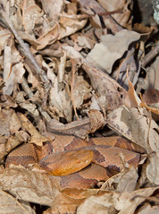 Northern Copperhead (lotterhand) Tags: snake northern venomous copperhead pitviper
