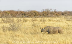 Black Rhinoceros Walking the Dry Plains (Wizard of Wonders) Tags: africa grass animals walking landscape bush african wildlife dry rhino plains bushes namibia rhinoceros blackrhinoceros etoshapan dicerosbicornis etoshanationalpark hooklippedrhinoceros