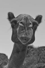 Excuse me? (efdixon) Tags: camel saudi arabia saudiarabia hofuf mers alhasacamelmarket alahsacamelmarket