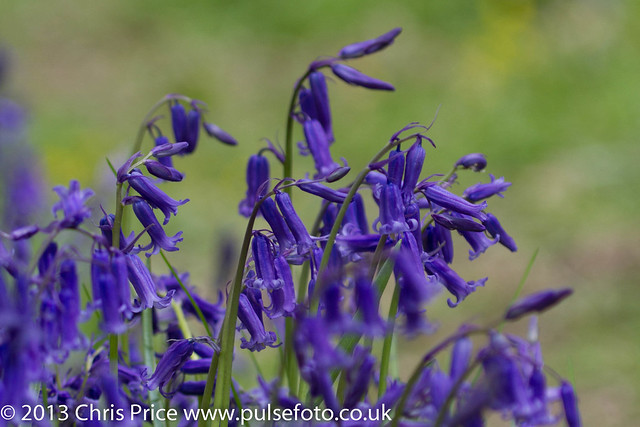 Bluebells at Hatchlands Park