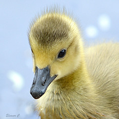 Photo of One Little Goose