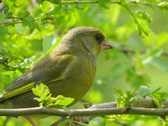 Greenfinch (moonraker2012) Tags: greenfinch