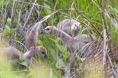 Canada Geese Chicks (scrappydoggy) Tags: bird birds canon geese goose chick chicks canadiangeese 100400mm canadageese avian huntleymeadows 100400 5dmarkii