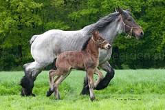 DSC_9557 5 (Ton van der Weerden) Tags: horses horse dutch de cheval nederlands belges draft chevaux belgisch trait trekpaard trekpaarden wimjaspersdepijpvansomerenheidenolmirza