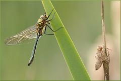 Cordulia aenea  (Joose SF) Tags: nature nikon suisse geneva dragonflies dragonfly wildlife insects genve arthropoda insecte libellule odonata anisoptera hexapoda libellules proxi odonates 2013 proxiphoto
