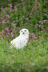 'Hedwig' Snowy Owl (Bubo scandiacus) (steven whitehead) Tags: flowers bluebells canon flying woods eagle display little snowy owl owls barnowl tawny longearedowl snowyowl longeared littleowl tawnyowl shortearedowl shorteared 2013 1dx