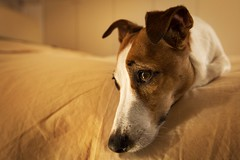 (nmastoras) Tags: dog pet pets cute dogs animal animals jack jrt russell terrier jackrussell jackrussellterrier
