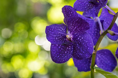 Orchidea (Lorenzoclick) Tags: light milan flower green primavera nature colors canon spring bokeh 5d fiori fiore orchidea canon5dmarkiii canonef100mmf28lisusmmacro