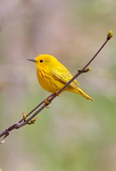 Yellow Warbler_Q4G6950 (BKP2010) Tags: nature birds spring yellowwarbler warblers birdphotography pheasantbranchcreek middletonwisconsin thewonderfulworldofbirds