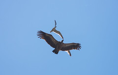 Griffon Vulture (Mark Attard Photography) Tags: africa blue wild sky seagulls bird flying nikon europe wildlife seagull iii north flight attack feathers feather tired vulture protective migration gibraltar f8 f71 birdofprey protect attacking migrating griffon 70200mm 400mm migrate longhaul griffonvulture nikond600 upperrock tce20 markattardphotography migratingseason