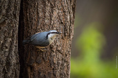 Eurasian Nuthatch on a Tree (Wholesale of Void) Tags: autumn fall nature birds animals forest russia moscow wildlife urbannature forestpark sittaeuropaea moscowcity eurasiannuthatch