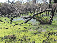 """I happened upon this vibrant moss growing in a marshy spot in the Mt Bold Reservoir area, among trees which had obviously been ravaged by bushfire. • <a style=""""font-size:0.8em;"""" href=""""https://www.flickr.com/photos/48334191@N00/10178457694/"""" target=""""_blank"""">View on Flickr</a>"""