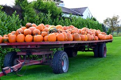 Pumpkin Farm (Duane Jones Cheshire1963) Tags: orange green halloween pumpkin manchester warrington nikon cheshire image farm crop turnip barrow facebook woolston