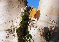 moss (Lamerie) Tags: autumn fall texture paper leaf moss bark lichen silverbirch