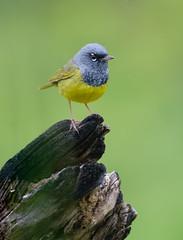 MacGillivray's Warbler (Wes Aslin) Tags: canada bird britishcolumbia avian abbotsford geothlypistolmiei macgillivrayswabler