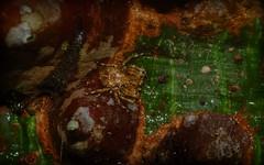 life on Ceiba speciosa (dustaway) Tags: malvaceae ceibaspeciosa flosssilktree exotic bark spines nature detail barkcrabspider thomisidae stephanopinae stephanopis australianspiders lismore nsw au
