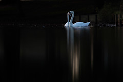 The Swans (Chaitanya Deshpande | Photography) Tags: swan swans water reflection birds waterbirds birdsinbritain ukwildlife