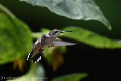 Firece determination (dbifulco) Tags: rthu bird flight flying garden nature newjersey nikkor300f4pfed rubythroatedhummingbird wildlife