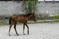 Cavalos de rua 02 (Parchen) Tags: cavalo cavalos equuscaballus nomecientfico cavalosderua urbanos rua soltos potro potrinho filhote cavalinho criados foto fotografia imagem registro parchen carlosparchen
