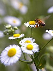 Honeybee & Fleabane by Perspective Viewpoint (Johnnie Shene Photography(Thanks, 2Million+ Views)) Tags: honeybee bee hymenoptera hymenopteran animal nature natural wild wildlife full length midair insect bug vertical fleabane daisy flower chrysanthemum depthoffield approaching behaviour motion slowmotion spring day photography outdoor colourimage fragility freshness nopeople foregroundfocus adjustment lighteffect perspective rearviewpoint flapping wings canon eos600d rebelt3i kissx5 tamron 90mm f28 11 macro lens 꿀벌 벌 곤충 접사 매크로 개망초 distorted
