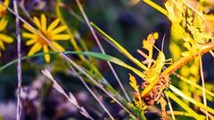 Le criquet  (2) (Yasmine Hens) Tags: criquet insect macro colors hensyasmine namur belgium wallonie europa aaa belgi belgia europe belgien  belgique blgica   belgie  belgio    bel be panasonicdmcgx8