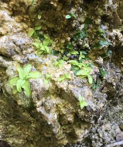 Pinquicula alpina