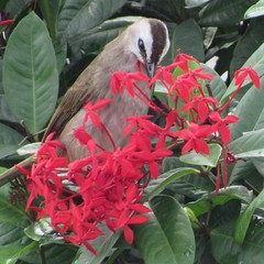 Yellow Vented Bulbul, Ho Chi Minh City, Vietnam, August 2016 (rsilva444) Tags: wildlife nature hcmc saigon vietnam