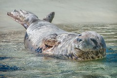 Schlafende Kegelrobben soll man nicht wecken ! (ddimblickwinkel) Tags: nikon tamron wasser water tier animal wild wildnis wood bea nik d300 d300s outdoor robbe nordsee sea
