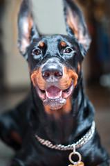 happy go lucky doberman (n_dangthuy) Tags: cake dog pet doberman huntingdog loyaldog hanoipetrescue adopteddog 1yearold smilydog happysmile happy smiledog
